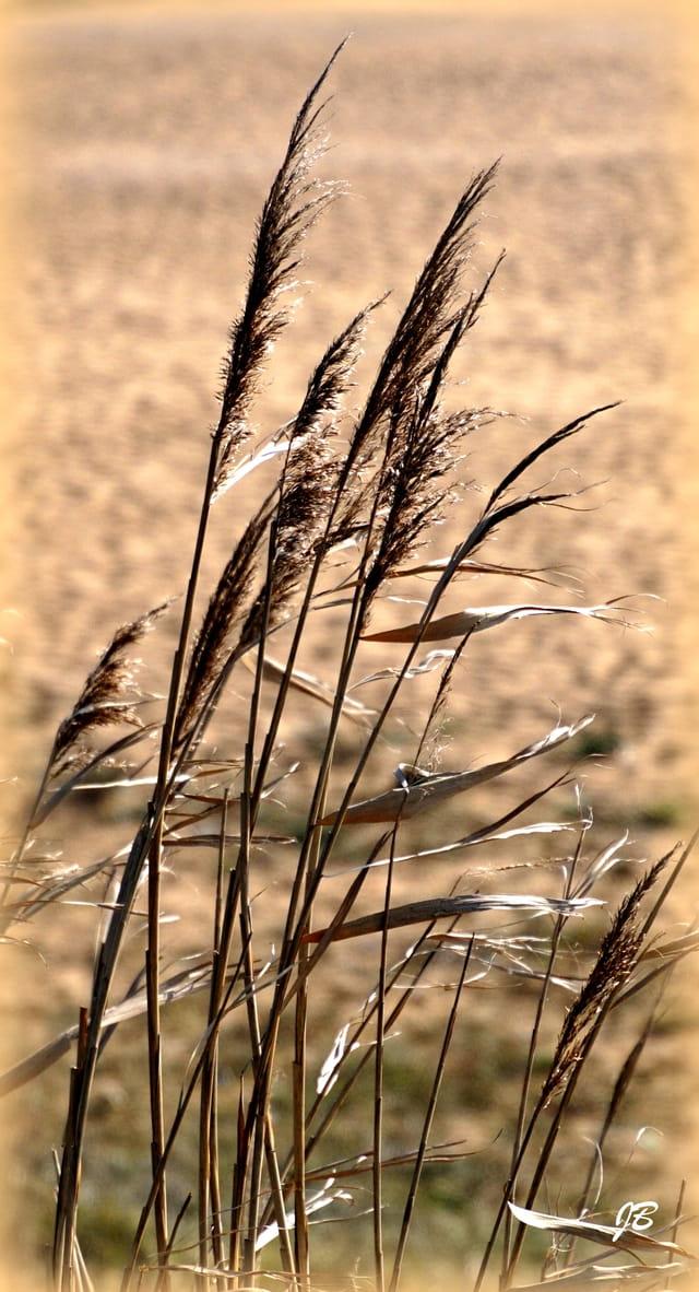 Graminées sur la dune...