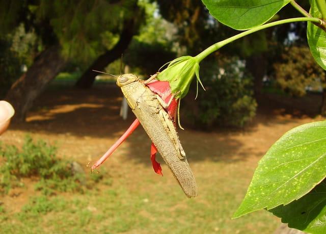 Grande sauterelle