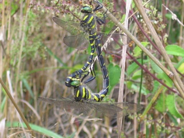 Grandes libellules