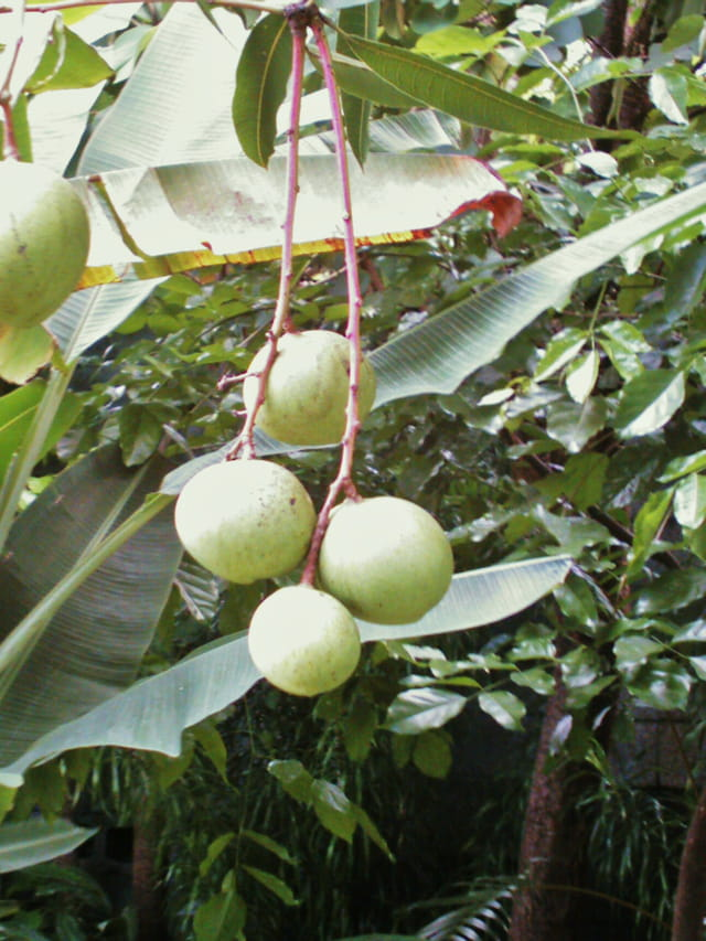 Grappe de mangues