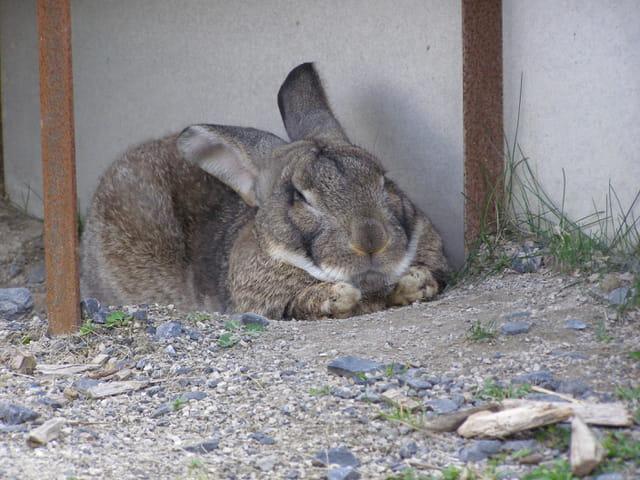 Gros lapin Géant des Flandres