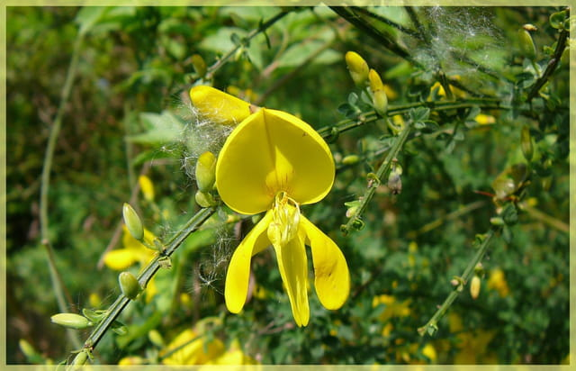 Gros plan sur une fleur de genêt