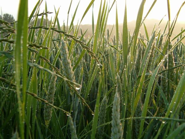 Gros plan(t) de blé