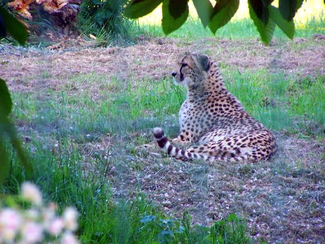 Guépard aux aguets....une antilope peut-être ????
