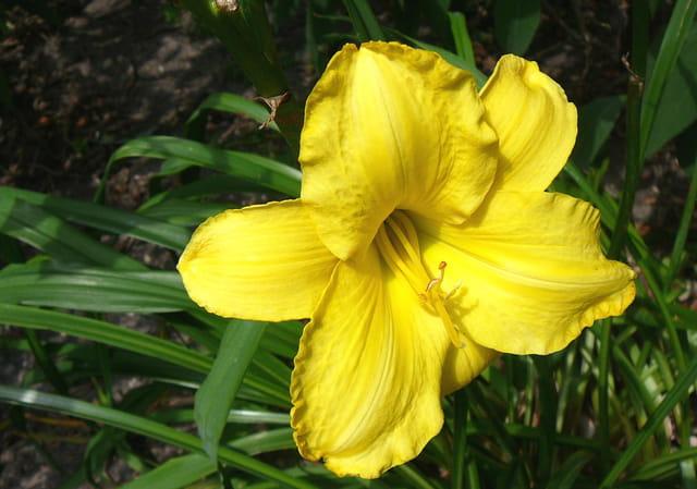 Hémérocalle jaune - Parc floral de Vincennes