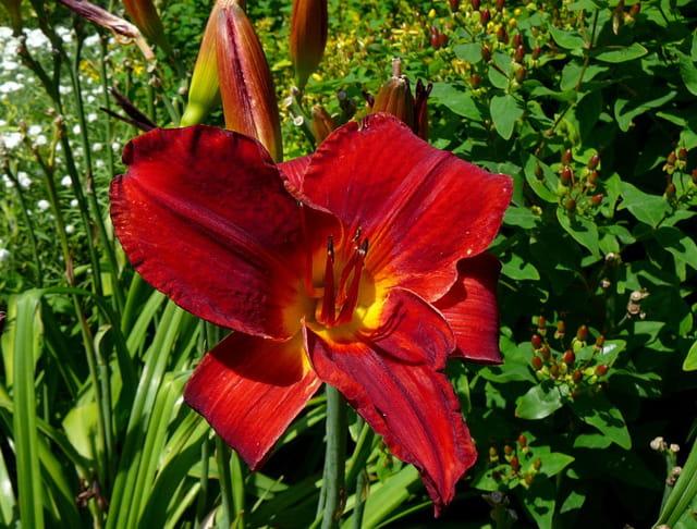 Hémérocalle rouge - Parc floral de Vincennes
