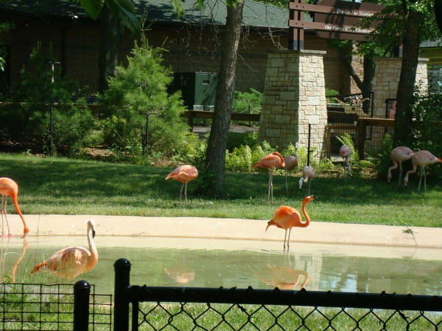 Henry Vilas Zoo,Flamants roses
