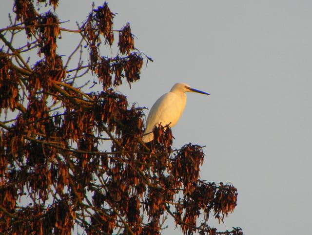 Héron blanc dans le coucher de soleil
