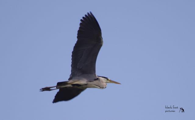 Heron en vol