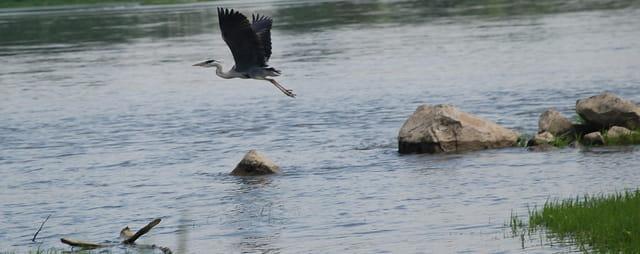 Heron  envol sur la loire
