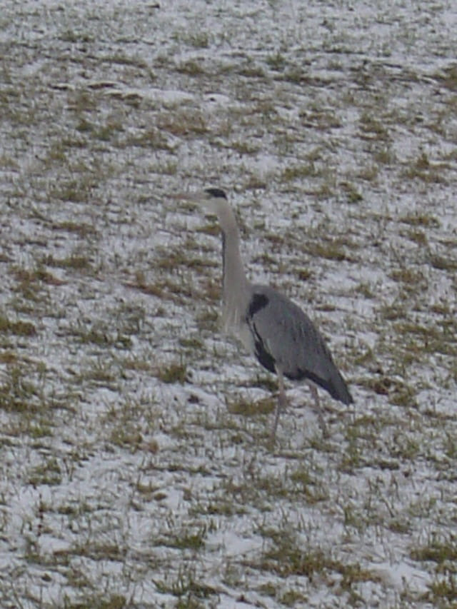 Héron grisé solitaire