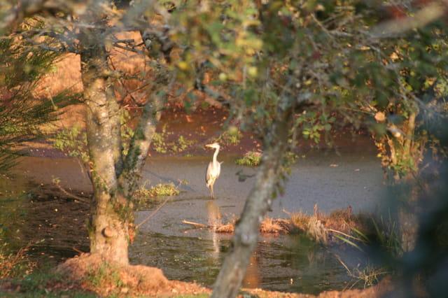 Heron sur un étang