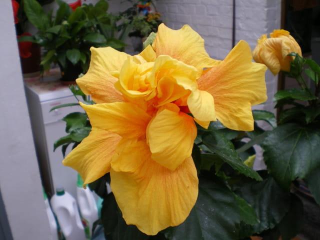 Hibiscus à fleurs doubles