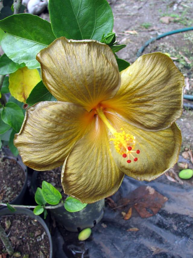 Hibiscus doré