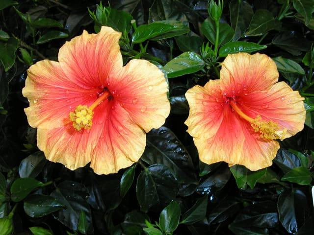 Hibiscus orangé
