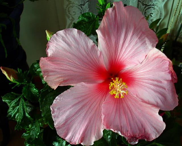 Hibiscus rose Rollando