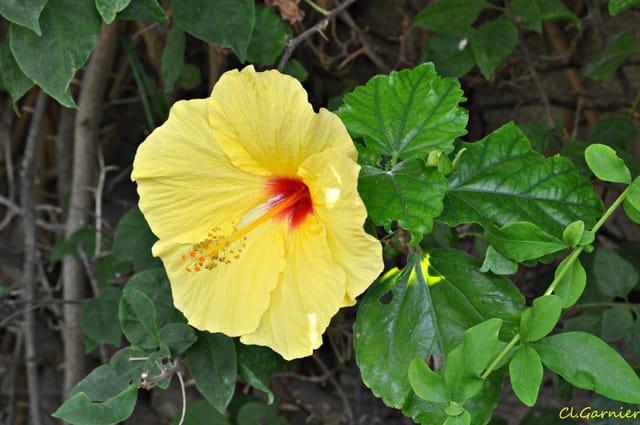 Hibiscus  - Sicilien