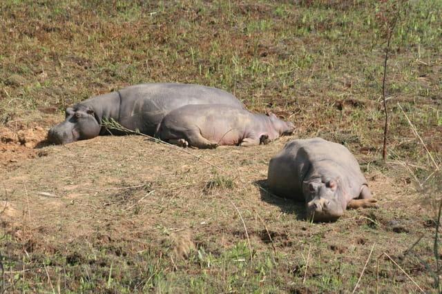 Hippopotames en bande