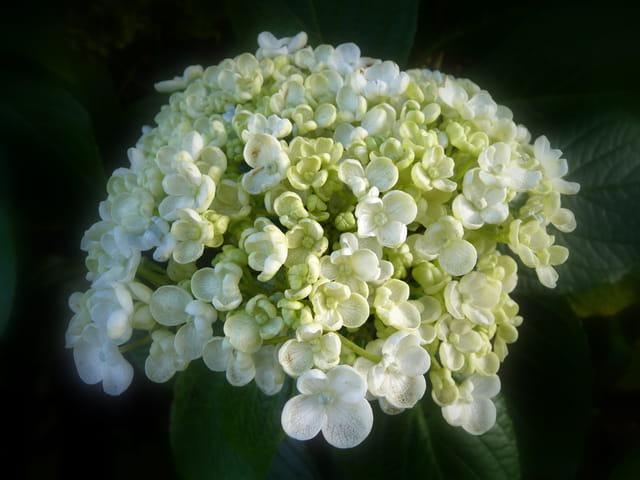 Hortensia à fleur de lilas