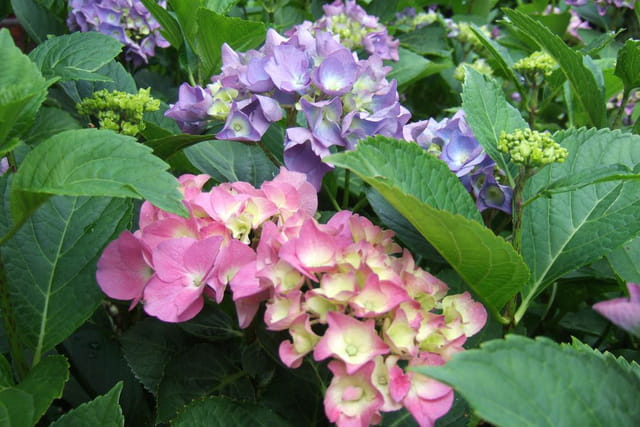 Hortensias, bleu et rose