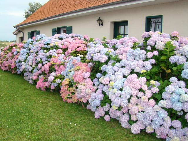 Hortensias en baie de somme par lydie moreaux sur l 39 internaute - Quand planter des hortensias ...
