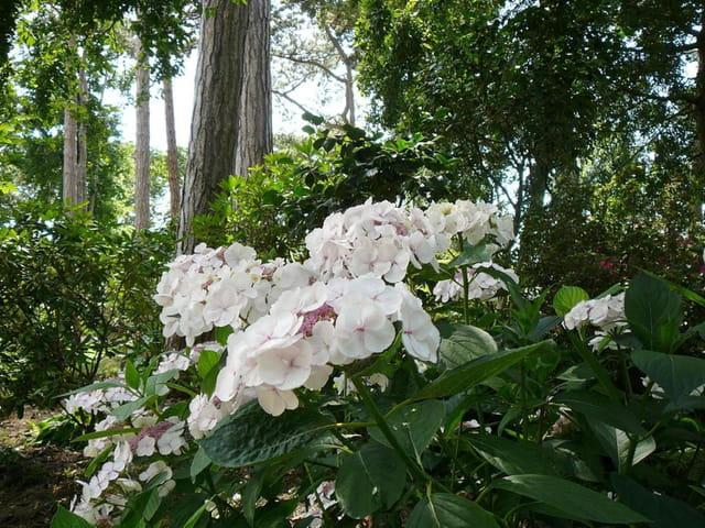 Hortensias - Parc floral de Vincennes