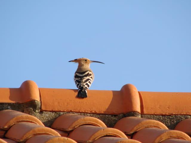 Huppe fasciée sur le toit