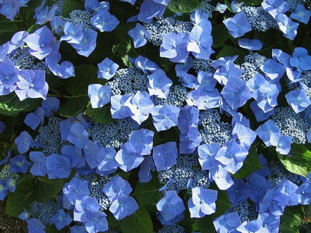 Hydrangea bleu