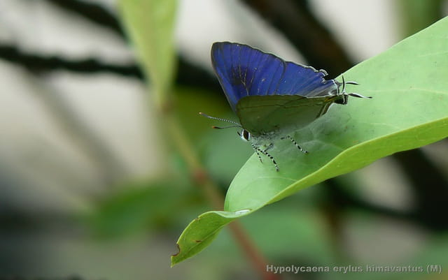 Hypolycaena erylus himavantus (M)