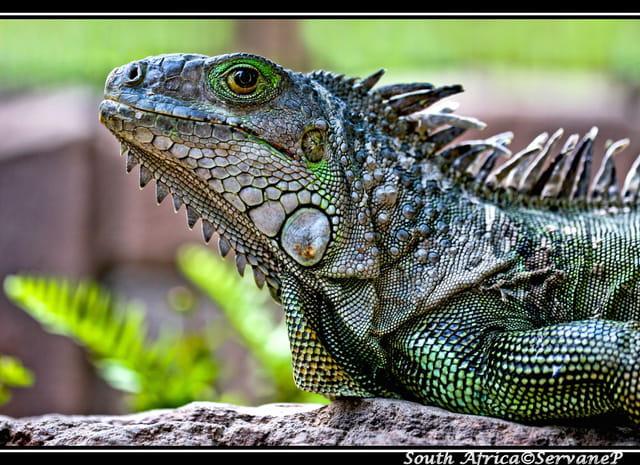Iguana Iguana Iguana