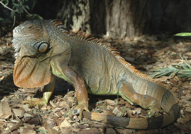 Iguane géante