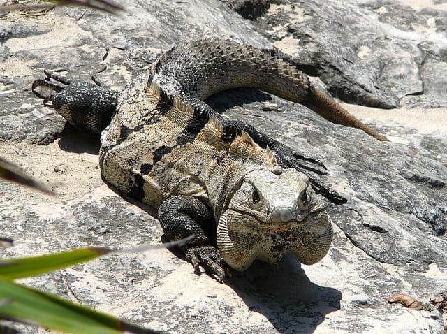 Iguane ou monstre de pierre