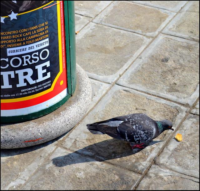 Il piccione ....