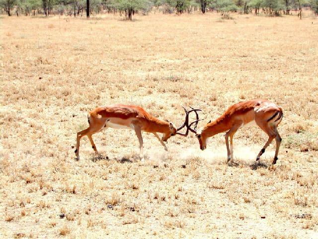 Impalas en conflit