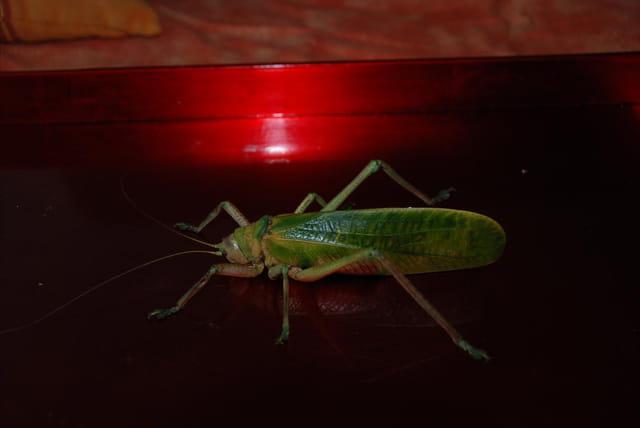 Insecte geant