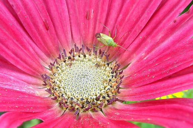 Insecte au coeur d'un arctotis