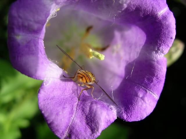 Insecte entrant dans la campanule
