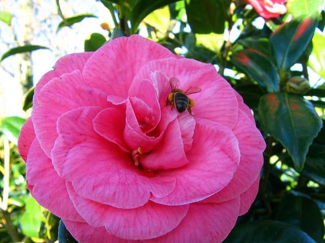 Insecte et fleur de camélia