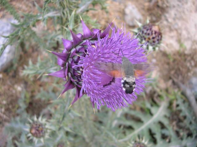 Insecte sur chardon
