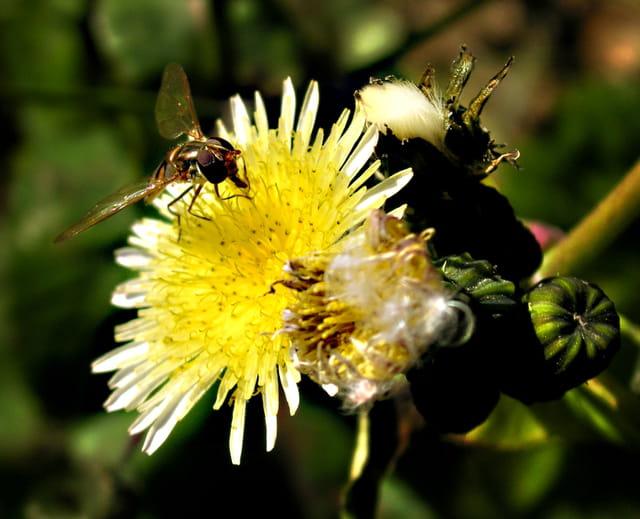 Insecte sur pissenlit