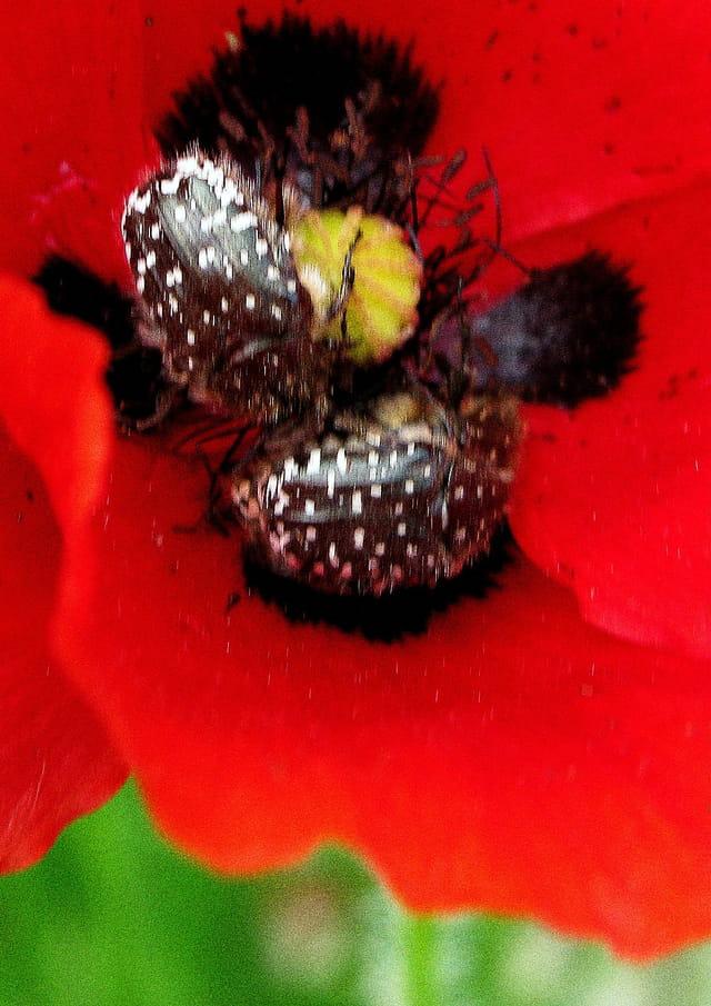 Insectes au coeur d'un coquelicot
