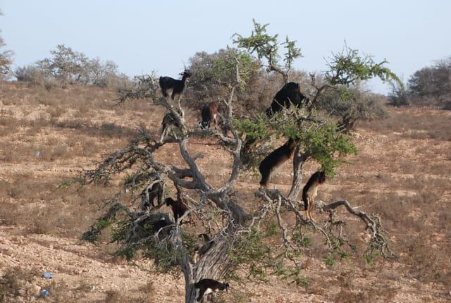 Insolite:des chèvres sur un arganier