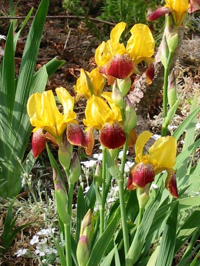Iris de feu
