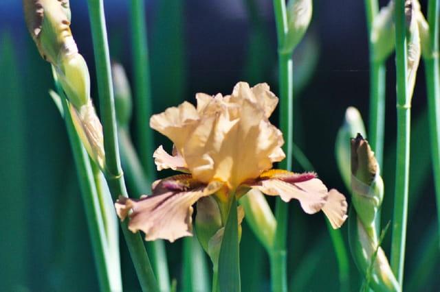 Iris de mai