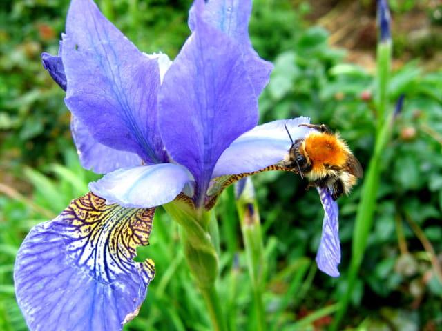 Iris et bourdon