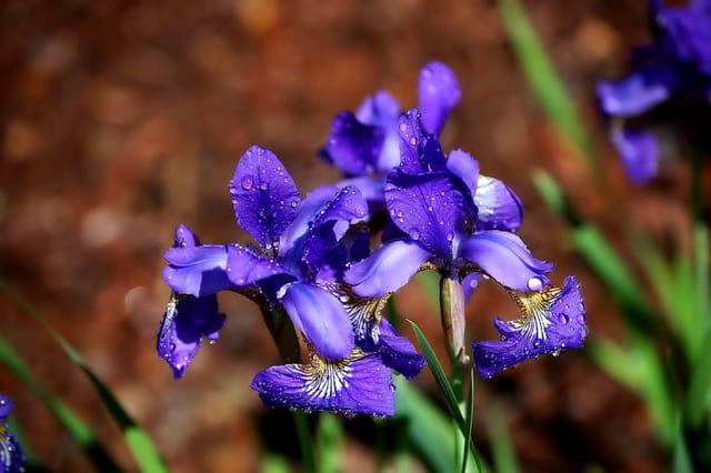 Iris Japonnais