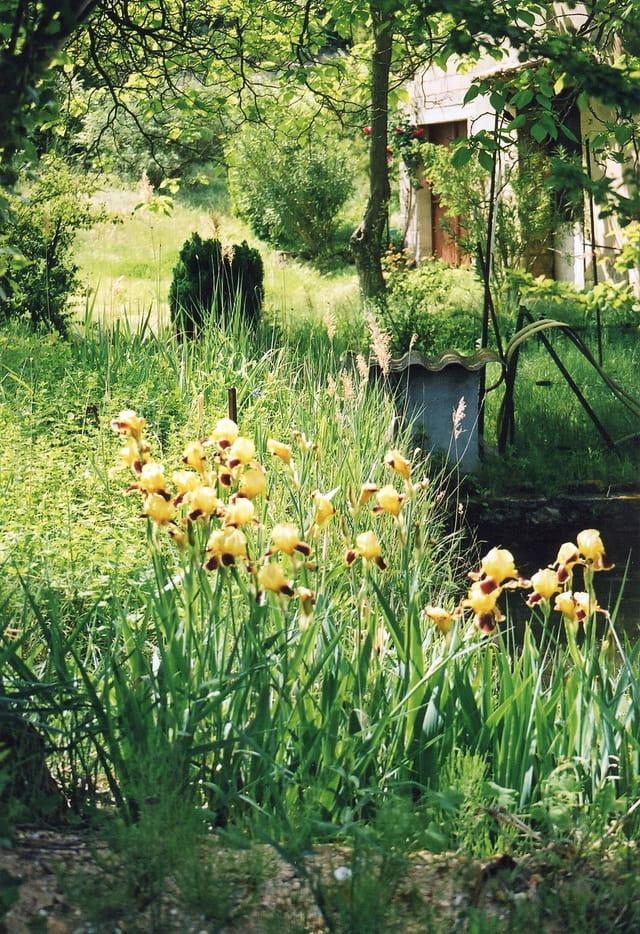 Iris jaunes.