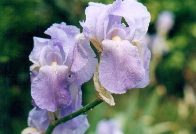 Iris sous la pluie