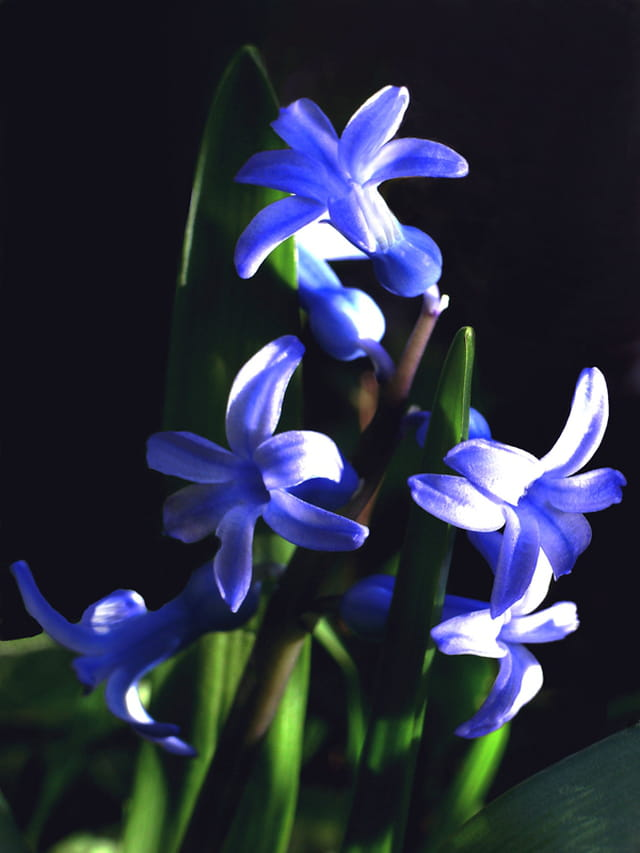 Jacinthes bleue