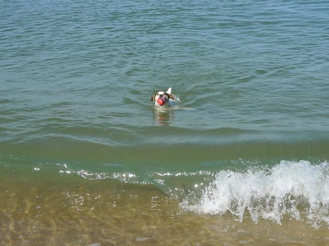 Jack Russel dans l'océan